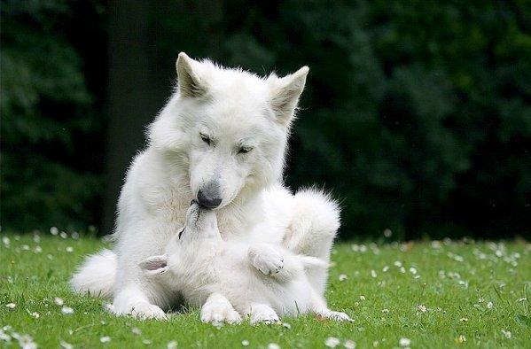 white shepherd dog berger blanc suisse berger blanc suisse pinterest white shepherd. Black Bedroom Furniture Sets. Home Design Ideas
